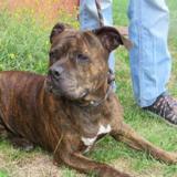 Amnesia, Chien croisé / autre (staffordshire bull terrier) à adopter