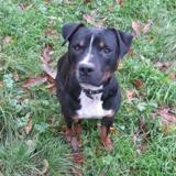 Rocky, Chien croisé / autre (staffordshire bull terrier) à adopter