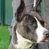 Pin up, Chien croisé / autre (staffordshire bull terrier) à adopter
