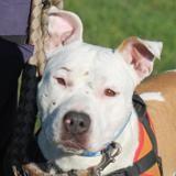 Sharko, Chien croisé / autre (staffordshire bull terrier) à adopter