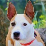 Athena, Chien croisé / autre (staffordshire bull terrier) à adopter