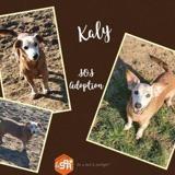 Kaly, Chien croisé / autre (teckel) à adopter