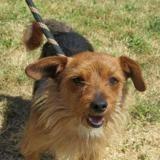 Rox, Chien croisé / autre (teckel/ yorkshire terrier) à adopter