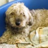 Ippon (réservé), Chien croisé / autre (teckel/ yorkshire terrier) à adopter