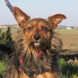 Timon, Chien croisé / autre (yorkshire terrier) à adopter