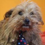 Iti haa21590, Chien croisé / autre (yorkshire terrier) à adopter