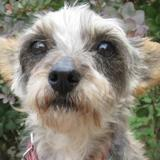 Shelly, Chien croisé / autre (yorkshire terrier) à adopter