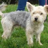 Norwin (réservé), Chien croisé / autre (yorkshire terrier) à adopter
