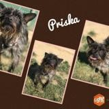 Priska, Chien croisé / autre (yorkshire terrier) à adopter