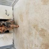 Happy, Chien croisé / autre (yorkshire terrier) à adopter