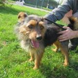 Guizmo, Chien croisé / autre (yorkshire terrier) à adopter