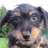 Robin (réservé), Chiot croisé / autre (yorkshire terrier) à adopter