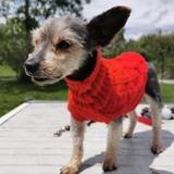 Chipie, Chien croisé / autre (yorkshire terrier) à adopter