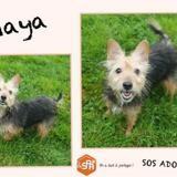 Maya, Chien croisé / autre (yorkshire terrier) à adopter