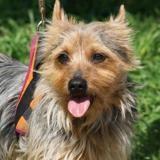 Robb, Chien croisé / autre (yorkshire terrier/ ratier) à adopter