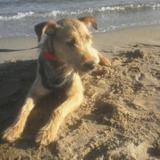 Phara, Chiot croisé fox terrier à adopter