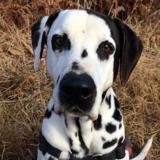 Enzo, Chien dalmatien à adopter