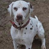 Kio, Chien dalmatien à adopter