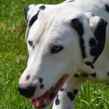 Locky, Chien dalmatien à adopter