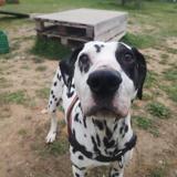 Zita, Chien dalmatien à adopter