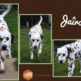 Jaîro (réservé), Chien dalmatien à adopter