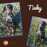 Tinky , Chien dobermann à adopter