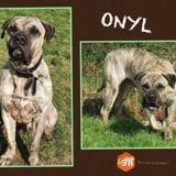 Onyl, Chien dogo canario à adopter