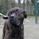 Nippon, Chien dogo canario à adopter