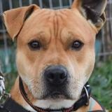 Yegor, Chien dogue à adopter