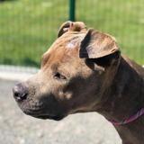 Tyson, Chien dogue à adopter