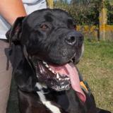 Falone, Chien dogue allemand à adopter