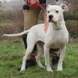 Bella, Chien dogue argentin à adopter