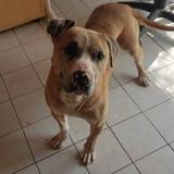 Miss, Chien dogue argentin à adopter