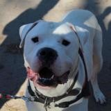 Layko, Chien dogue argentin à adopter