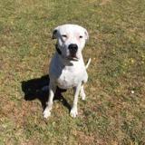 Juga, Chien dogue argentin à adopter