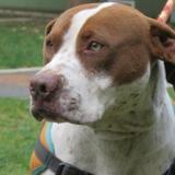 Tonton caa9116, Chien dogue argentin à adopter