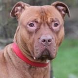 Olia chao10482, Chien dogue argentin à adopter