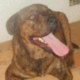 Oms , Chien dogue de majorque croisé cane corso à adopter