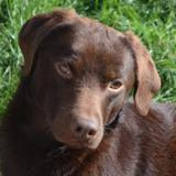 Cacao, Chien epagneul à adopter