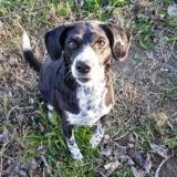 Belle, Chien epagneul à adopter