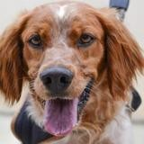 Gwendal, Chien epagneul à adopter