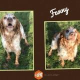 Fanny, Chien epagneul breton à adopter
