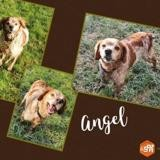 Angel, Chien epagneul breton à adopter