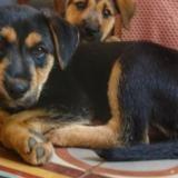 Pantoufle, Chiot fox terrier croisé berger à adopter