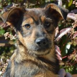 Eusebio chao7802, Chiot fox terrier poil dur à adopter
