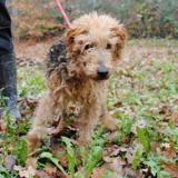 Motus, Chien fox terrier poil dur à adopter