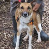 Marbella, Chien fox terrier poil dur à adopter
