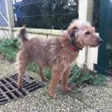 Filou, Chien fox terrier poil dur à adopter