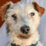 Moudjo, Chien fox terrier poil dur à adopter
