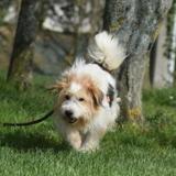 Diesel, Chien fox terrier poil dur à adopter